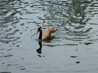 Duck on lake of Ontario