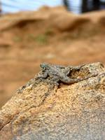 Lizard Tsavo East