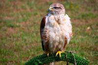 Perched Hawk