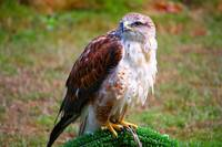 Perched hawk on display