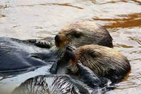 Feeding Time for Sea Otters