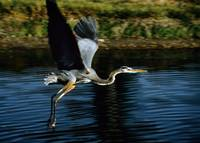 Great Blue Heron Bird Flying Takeoff