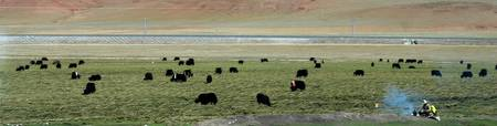 Yaks, Nomads, and the Qinghai-Beijing Railway