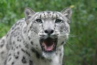 Snow Leopard face