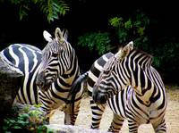 Plains Zebra Pair