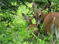 Fawn and Mother Whitetail Deer