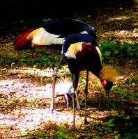 West African Crowned Cranes