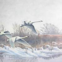 Tundra Swans at Long Point Art Prints & Posters by Randall Wilson