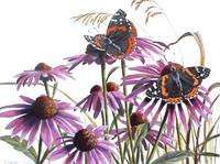 Red Admirals and Purple Coneflower