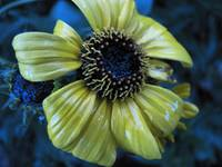 Yellow flower in rain _5627