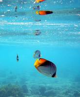 threadfin butterflyfish reflections