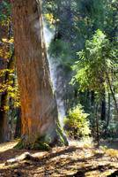 Morning Redwood by Paul Gaither
