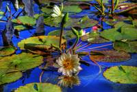 Water Lilies by Paul Gaither