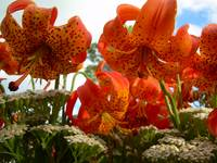 Tiger Lilies 404