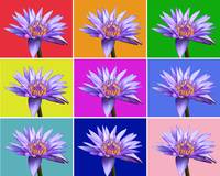 Water Lily x9