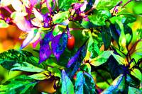 Purple Chilli Pepper Plant