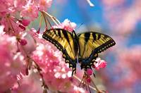 swallowtail butterfly and cherry blossoms