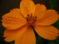 Droplets on Orange Cosmo