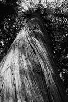 Ancient Forest Tree (B&W)