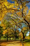 Autumn Gold within Central Park, NYC Posters