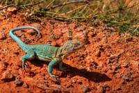 Palo Duro Canyon - Collared Lizard