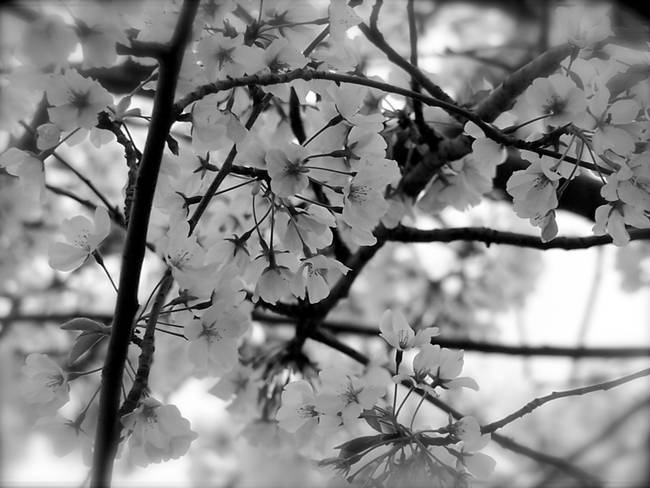 Black And White Cherry Blossoms By Diane Paulson
