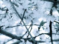 Cherry Blossoms Blue 2