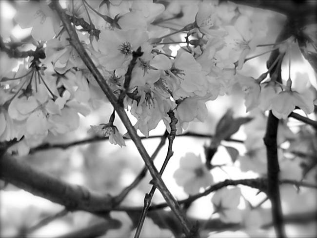 Black And White Cherry Blossoms 2 By Diane Paulson