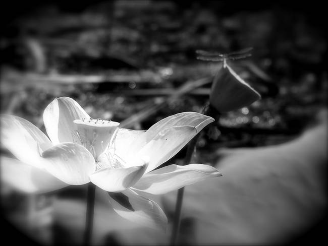 Dragonfly on lotus flower black and white by diane paulson