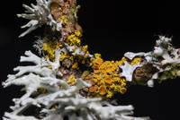 Polycarpa and other Lichens from a pear tree 0178