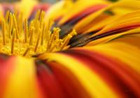 Gazania - On the Bloom
