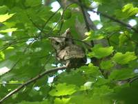 screech owl MY FIRST
