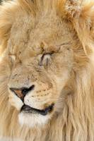 Lion. (Tired and weary)