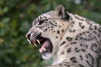 Mizi - Female Snow Leopard