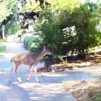 Deer on Walk by Faye Cummings