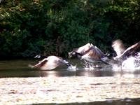 Geese Take Off
