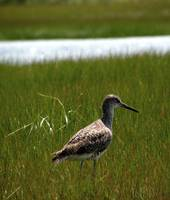 Salt Marsh Birds_PhotoContest-TNC09