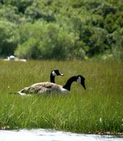 Canadian Geese_PhotoContest-TNC09