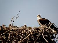 Osprey and Babies_PhotoContest-TNC09