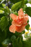 Beautiful Orange Hibiscus Flower
