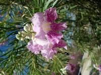 Purple Desert Willow Blossom