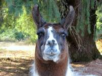 A llama greeting to you.