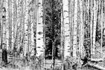 Aspens and the Pine BW