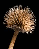 Dried Purple Cone Flower