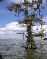Old Cypress