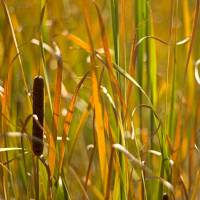 Cattail Basking Art Prints & Posters by Dave Renner