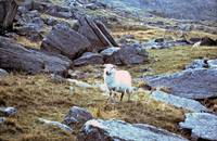 A sheep in Snowdonia, Wales