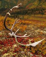 Caribou antler, on colorful fall tundra, in Denali