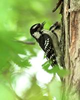 two young downy woodpeckers