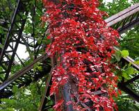 Red Leaves, Steel Trellace
